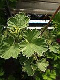 Lady Love Song (пестролистный) / взрослое растение, фото 2