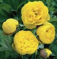Пион ИТО Yellow Crown
