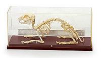 Модель скелета кролика