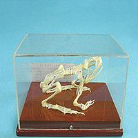 Модель скелета лягушки