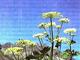 Горичник Морисона экстракт корня, 100мл , фото 3