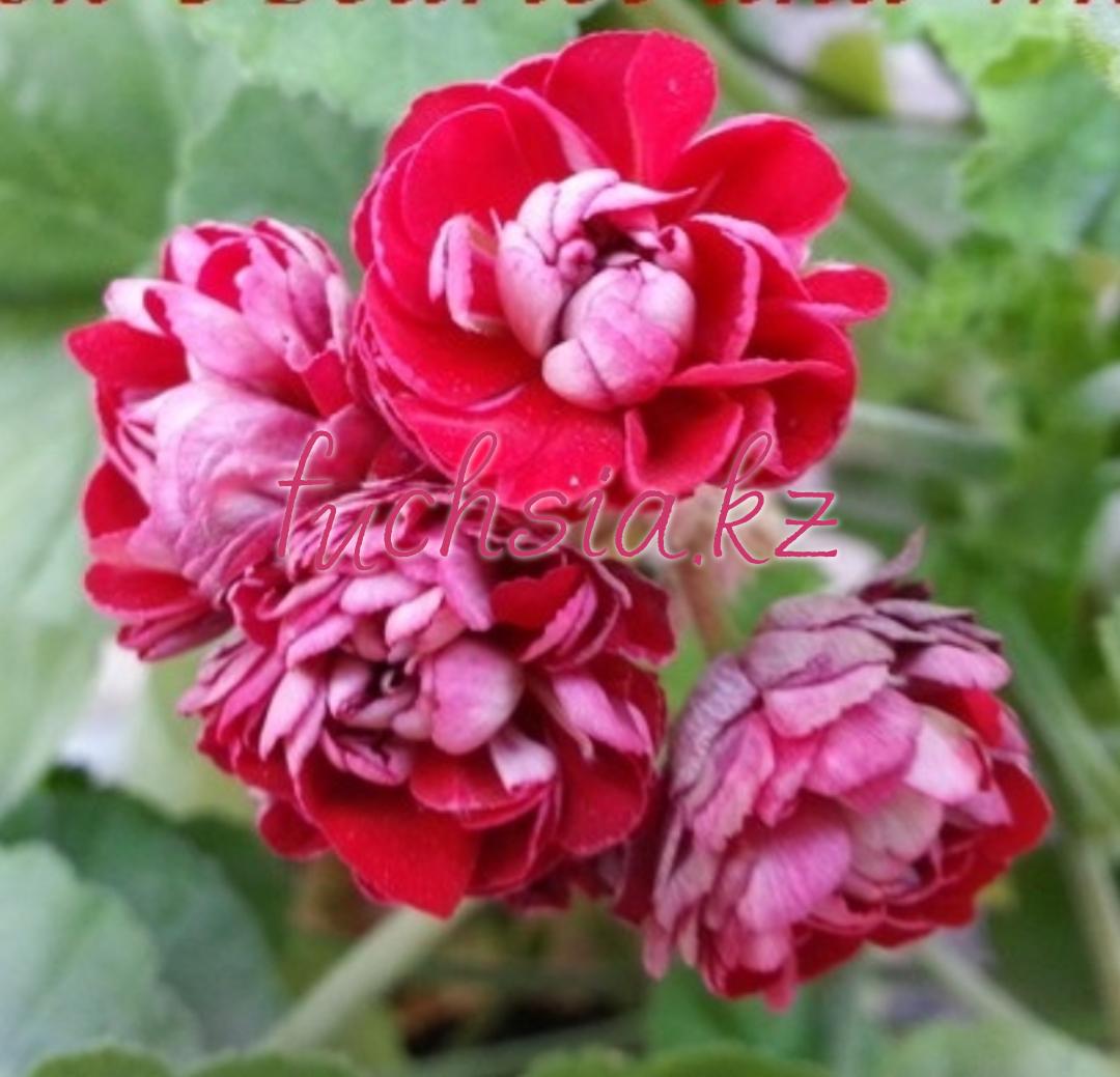 Cook's Scarlet & White / розебуд / укор.черенок