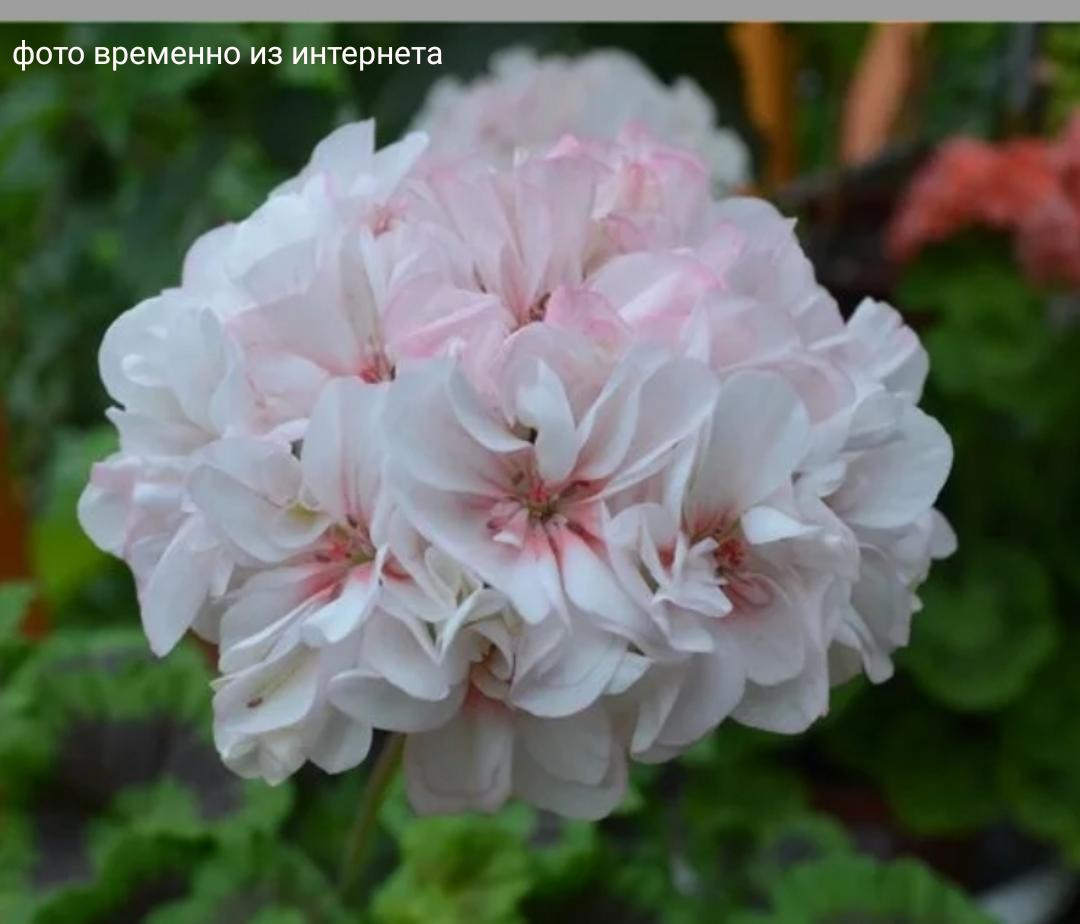 Elnaryd's Alexis / подрощенное растение
