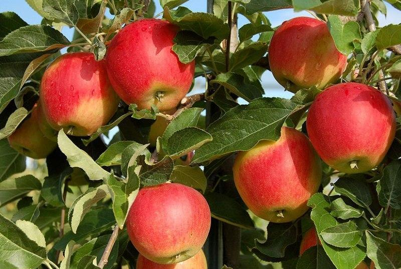 Яблоня Галмак Galmac