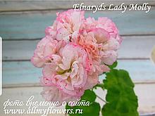 Elnaryd's Lady Molly