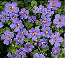 Бакопа Gulliver Blue / подрощенное растение