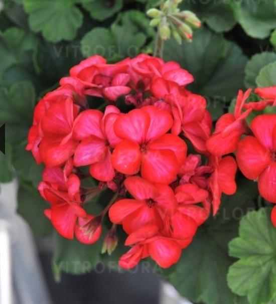 Sarita Sunstar Red / укор.черенок