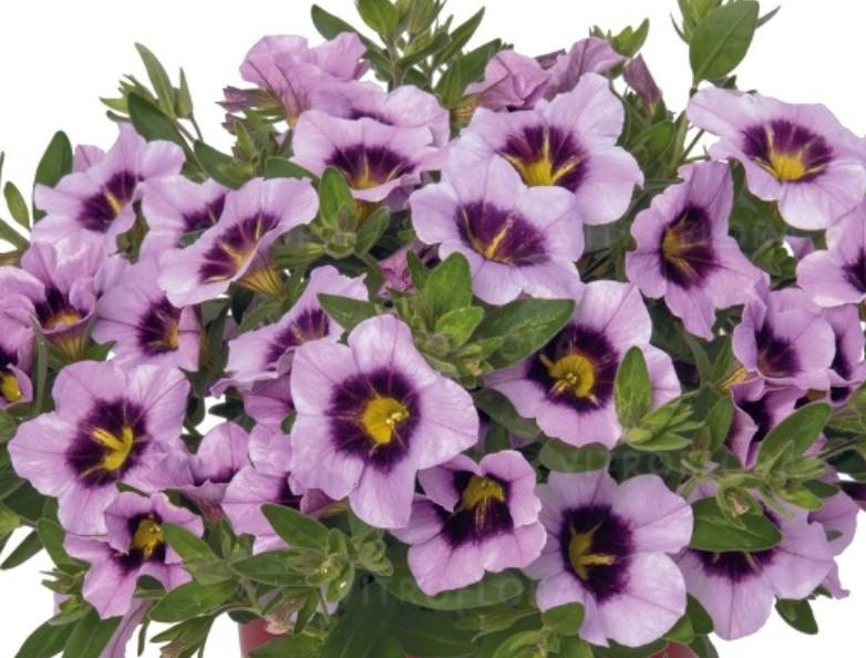 Bloomtastic Lavender Quartz  №404