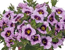 Bloomtastic Lavender Quartz  №404 / укор.черенок
