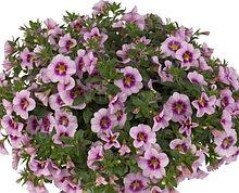 Bloomtastic Rose Quartz №402 / укор.черенок