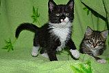 Маленький котенок мальчик., фото 2