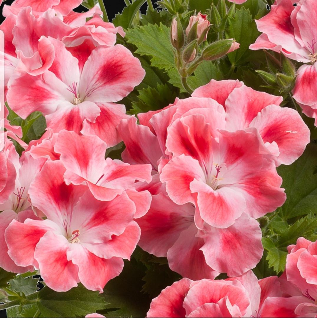 Pac Candy Flowers Peach Cloud / укор.черенок