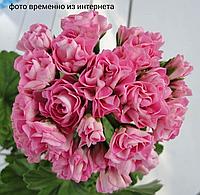 Princessa Filippa/ розебуд / укор.черенок