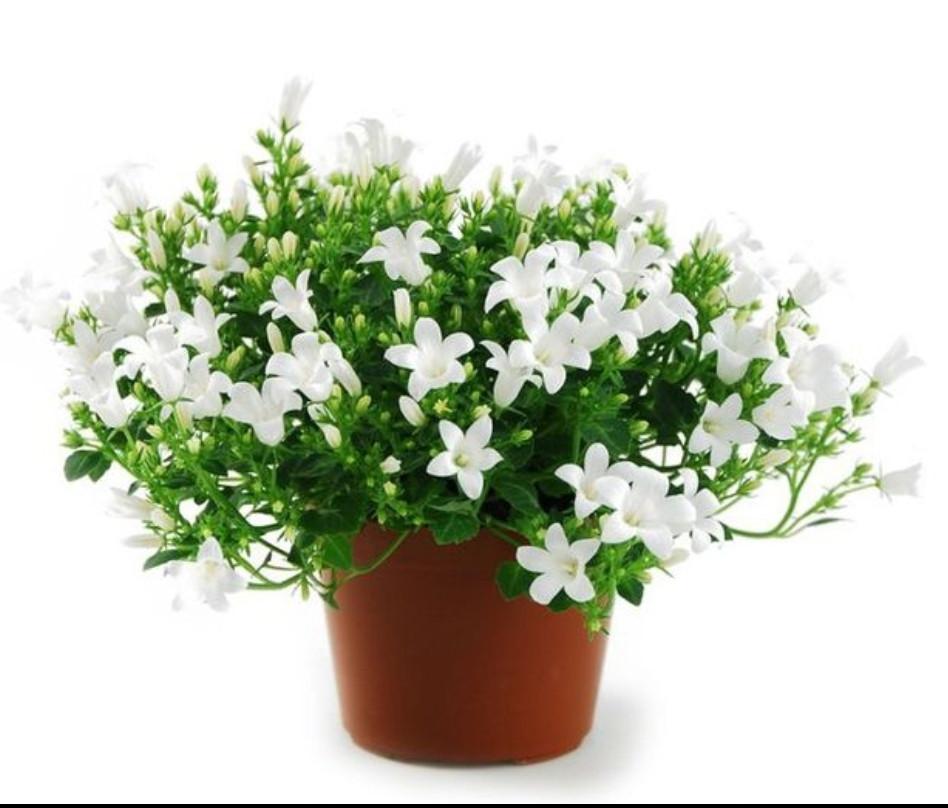 Campanula Portenshlagiana White / взрослое растение