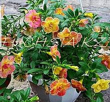 Chameleon Double Pink Yellow  №416/ подрощенное растение
