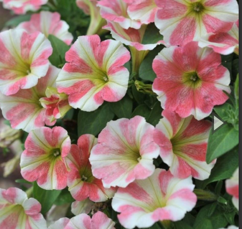 Peppy Sunset  №516 / подрощенное растение