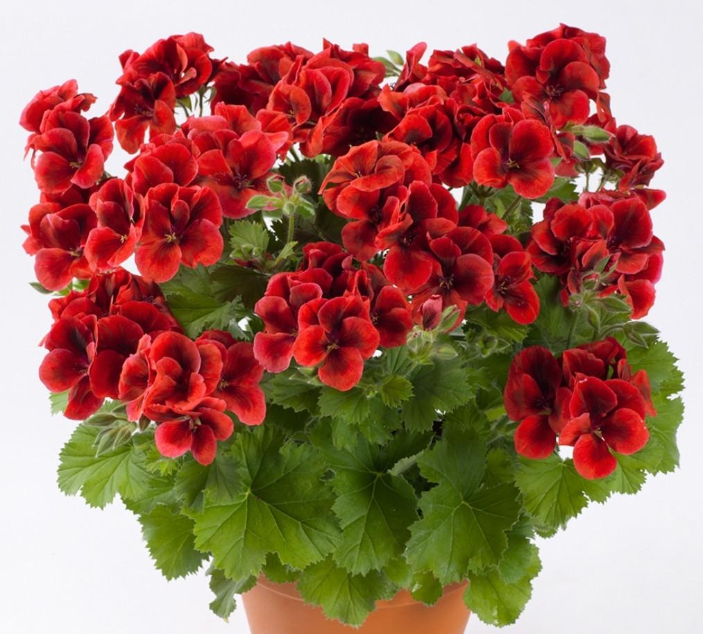 Pac Candy Flowers Dark Red / укор.черенок