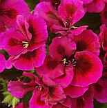 Pac Candy Flowers Violet / укор.черенок, фото 2
