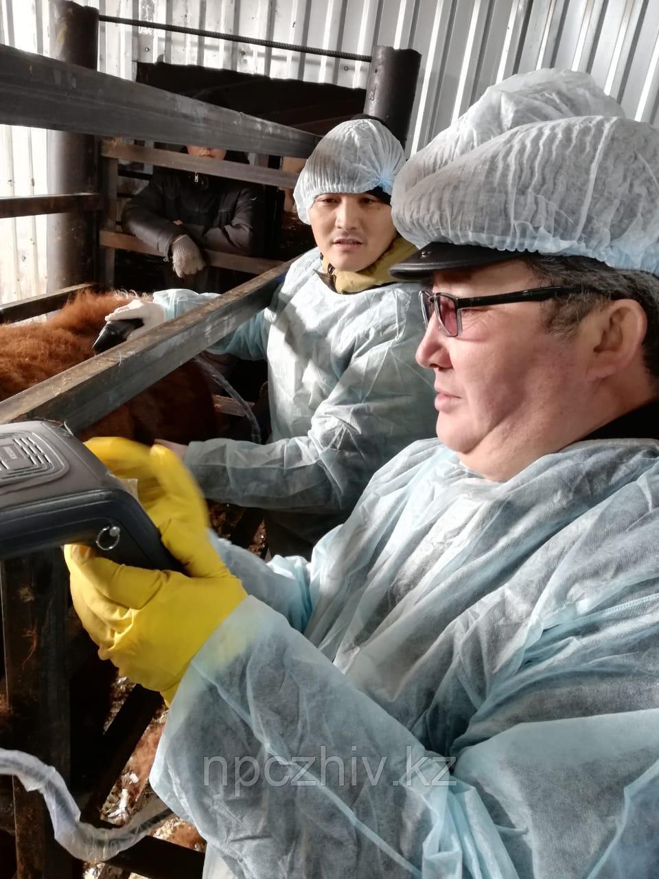 УЗИ-сканирование прижизненных мясных качеств
