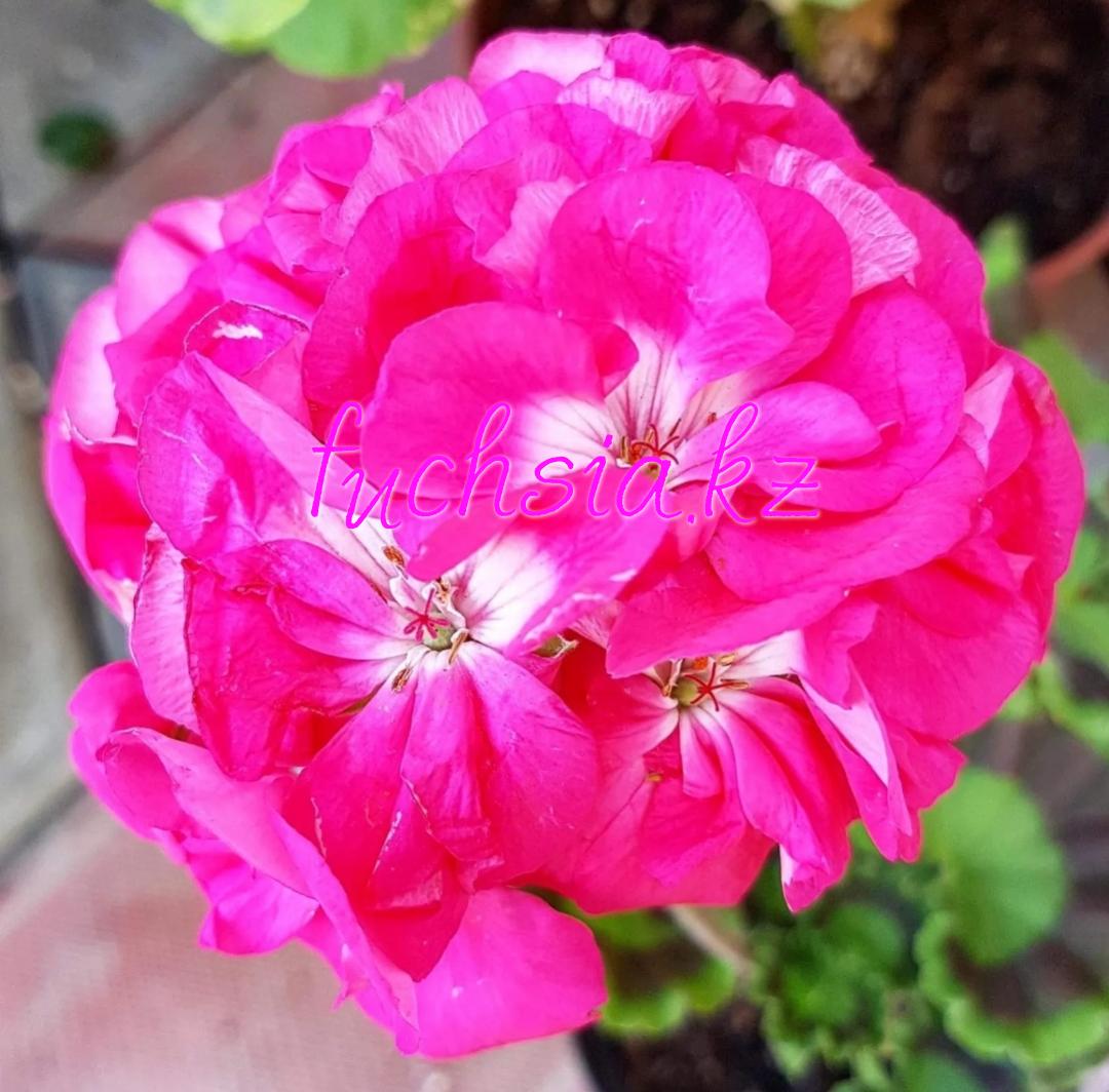 Pac Dazzling Pink / укор.черенок