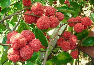 Клубничное дерево Кудрания Триостенная