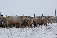 Испытание бычков мясных пород по собственной продуктивности