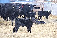 Услуги разработки программ селекции стад в мясном скотоводстве