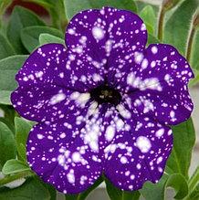 Nighte Sky  №530 / подрощенное растение