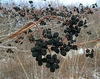 Бархат Амурский ягода (плоды)