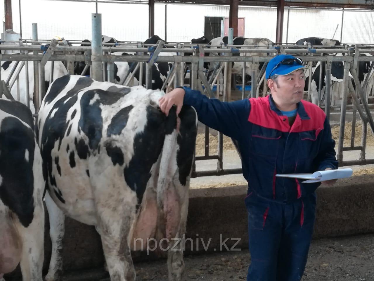 Оценка экстерьера молочного скота