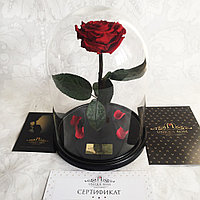 Роза бордовая Кинг Сайз 33 см