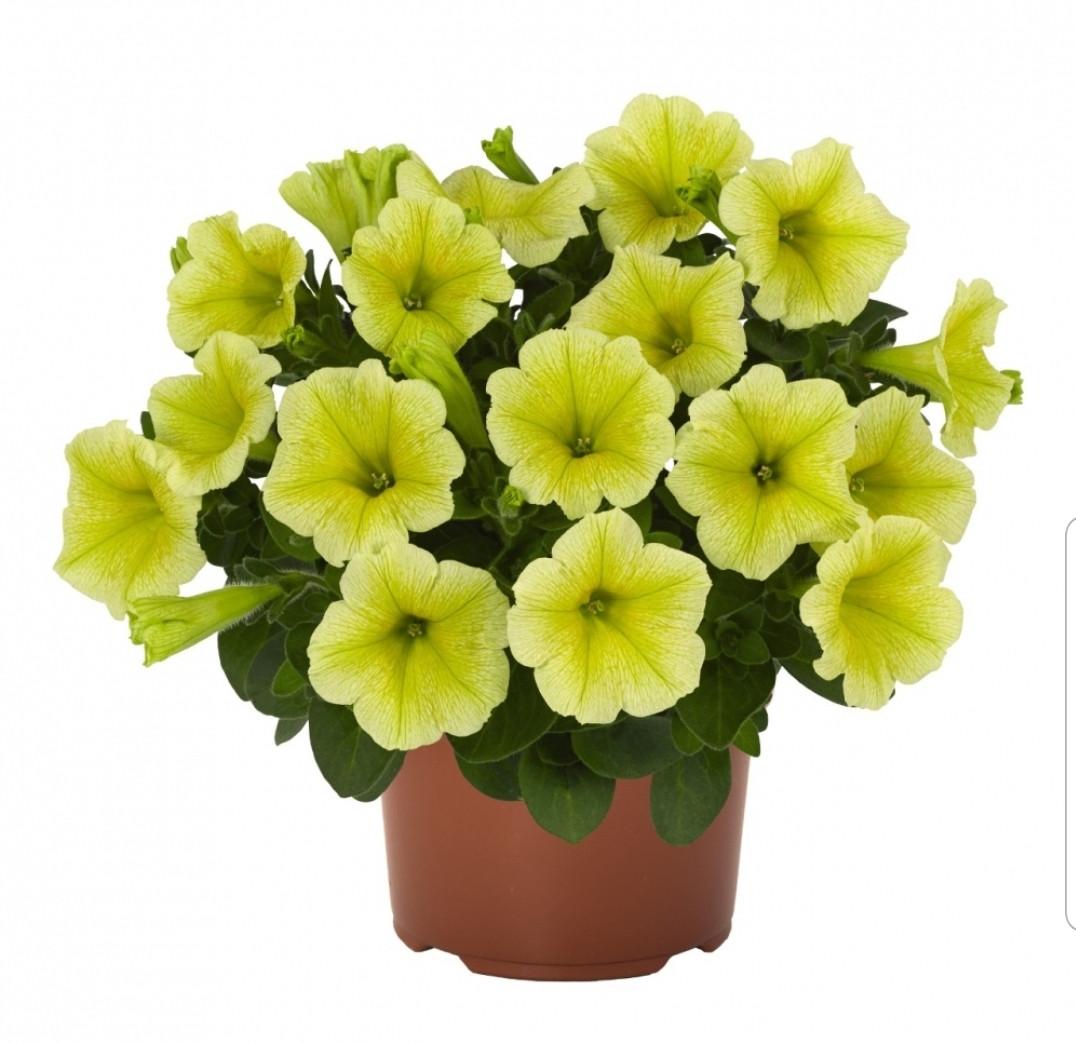 Sweetunia Yellow №541 / подрощенное растение