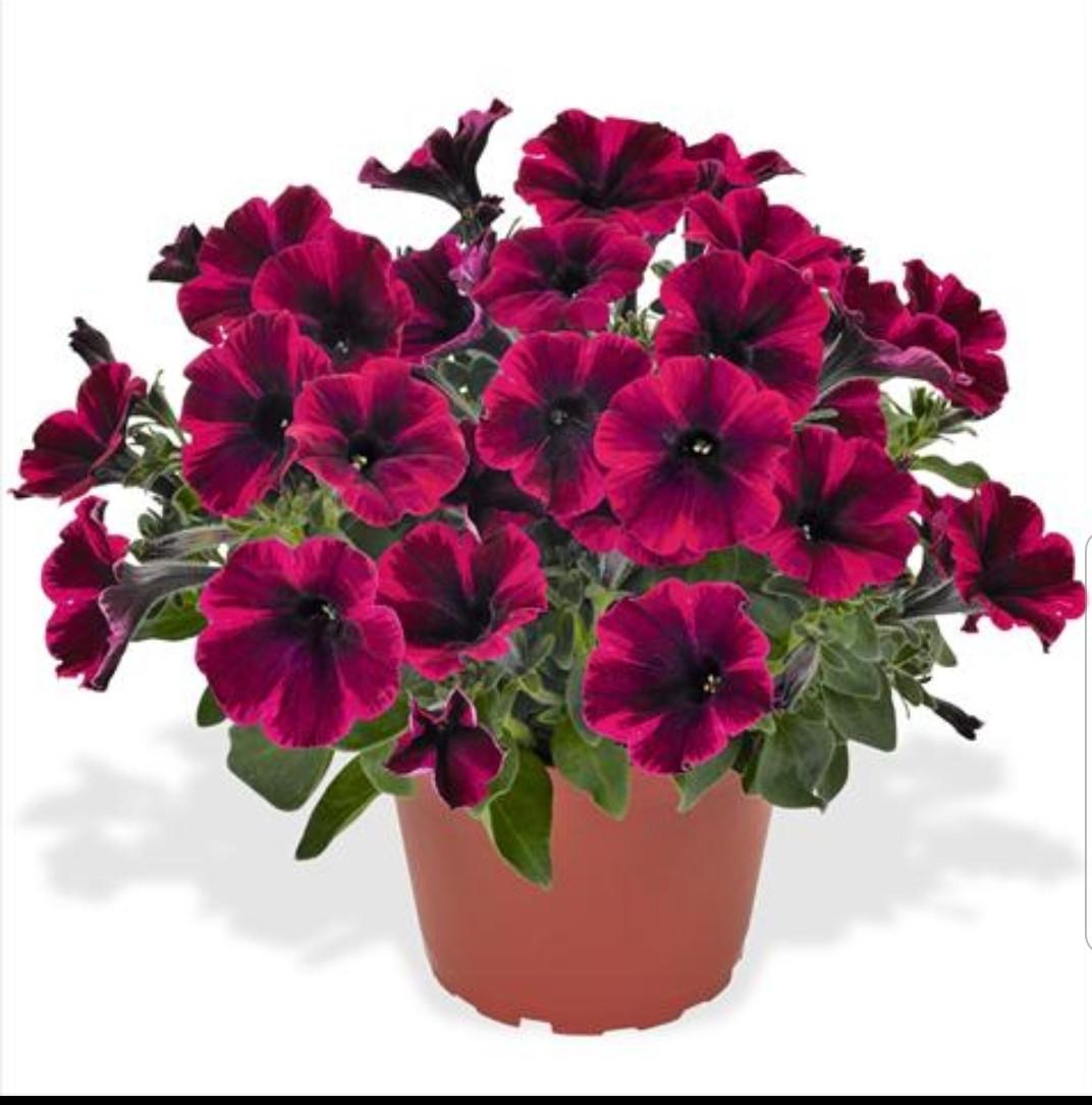 Sweetunia Suzie Storm N 542 / подрощенное растение