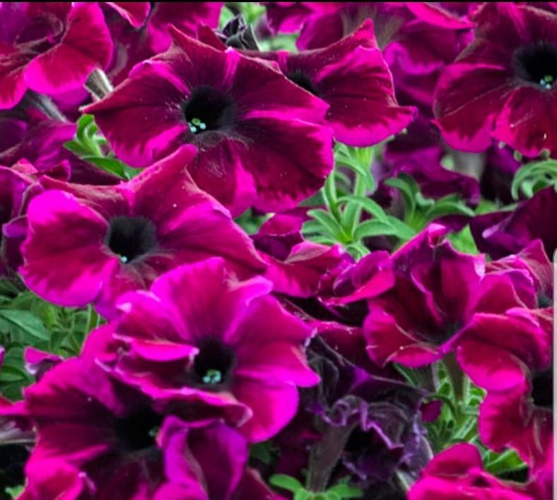 Crazytunia Cosmic Purple №532/ укор.черенок