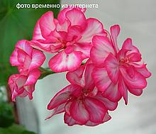 Harlequin My Love / подрощенное растение