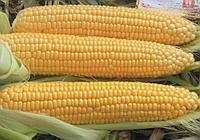 Кукуруза молочная  Драйвер F1/ 5000 шт