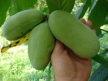 Азимина трилоба банановое дерево 2 года