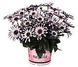Margarita White Spoon №605/ подрощенное растение, фото 2