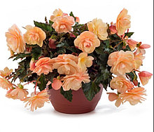 Fragrant Falls Peach № 340 / укор.черенок