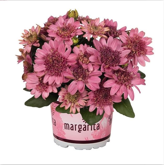 Margarita Double Pink №606 / укор.черенок