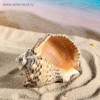 Ракушка декоративная Кассис, 8-9 см