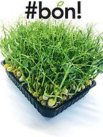 Контейнеры с растущей зеленью Гороха