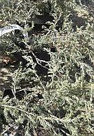 Живые ели в Алматы