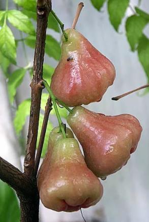 Евгения Восковое яблоко