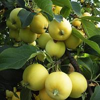 Яблоня Уральское Наливное (саженцы)