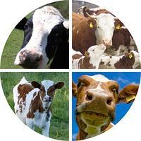 Заменитель цельного молока для интенсивного роста телят «DENSTART», фото 1