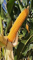 Кукуруза OSC 6096/FAO 660