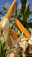 Кукуруза OSC 7095/ FAO 730