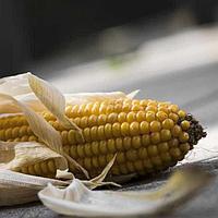 Кукуруза ДМС 3111(ФАО 310)