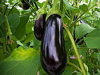 Семена баклажана Rayana